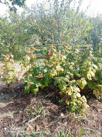 Саженцы малины 15 грн