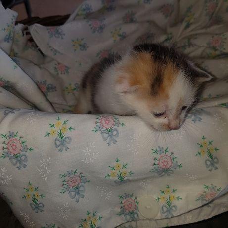Malutki  kotek kotka  trzy  kolorowy