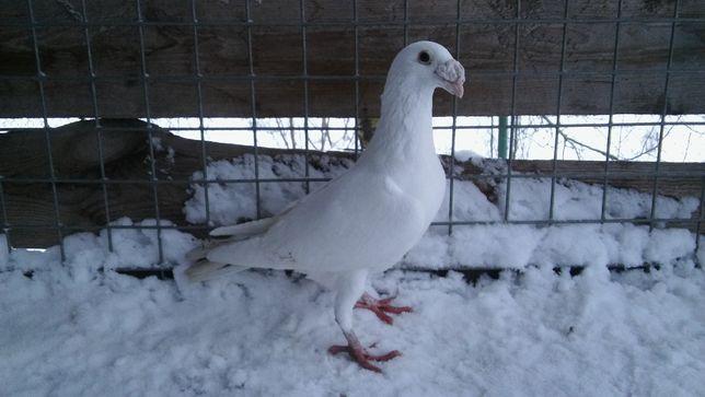 Staropolski biały samiec (gołębie)