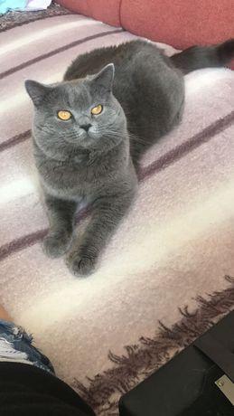 Британец на вязку(кот)