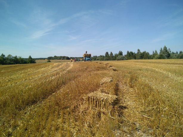 Солома пшенична в тюках .