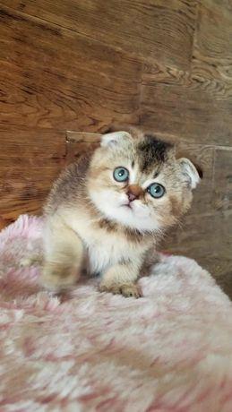 котята: вислоухие, прямоухие, золотые, тикированные, шиншиллы