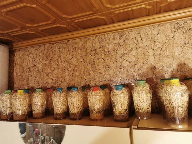 Muszki owocówki nieloty Drosophilia hydei. 2+1 gratis.