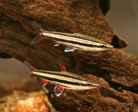 Drobnoustek trójpręgi Nannostomus trifasciatus 2,5 cm