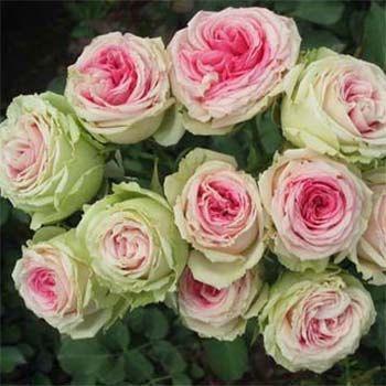 для сада саженцы роз