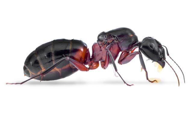 Mrówki Camponotus ligniperda królowa 2020 z robotnicami 5-9 oraz potom