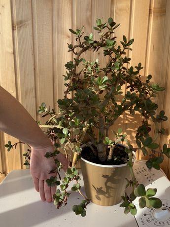 Большой цветок, вазон денежное дерево толстянка