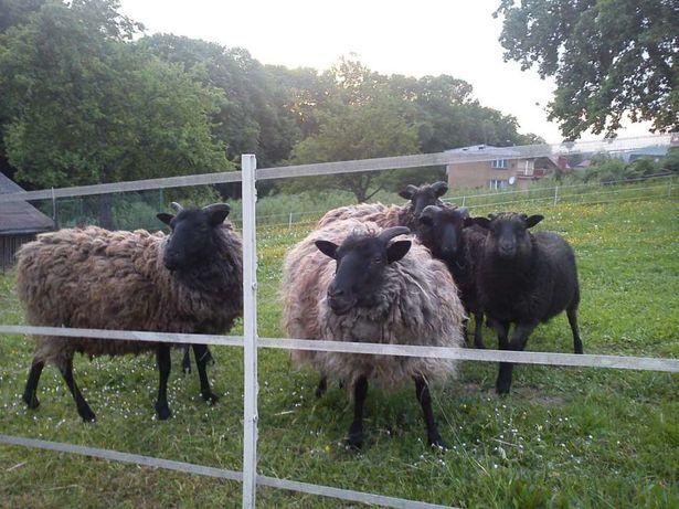 Owce Wrzosowki