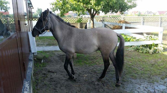 Sprzedam konia  polskiego