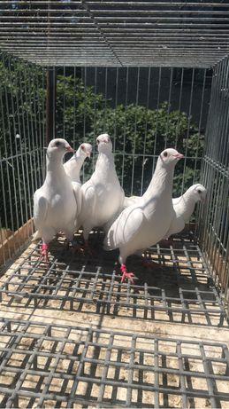 Sprzedam cepele golebie