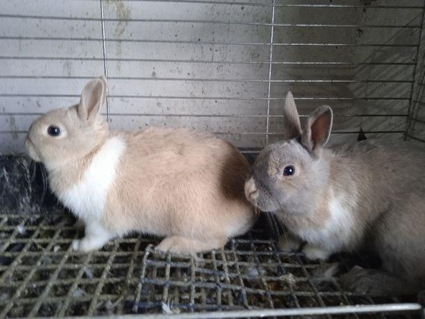 króliki miniaturki parka samiczka zakocona