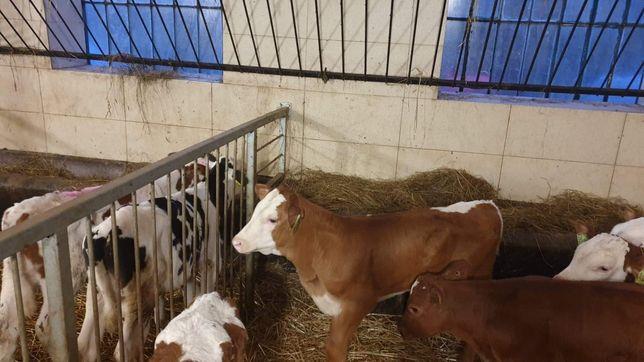 Sprzedam cieleta byczki mięsne tanio