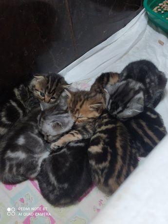 Котята мраморные