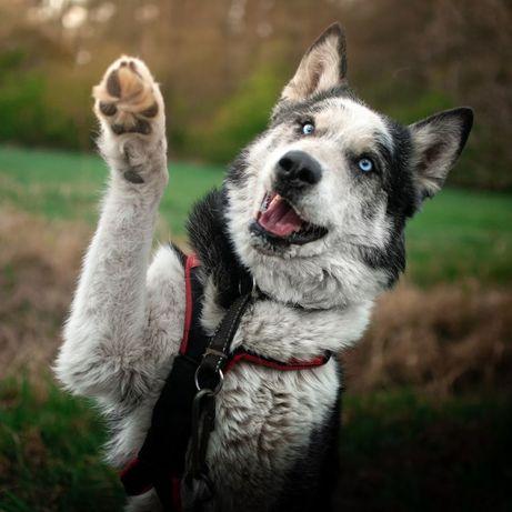 Mądry i aktywny pies zaprzęgowy o niebanalnym wyglądzie husky Kuba