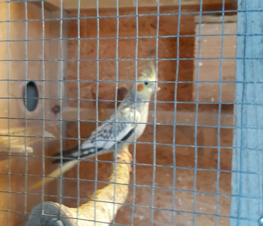 Sprzedam papugi oraz proso