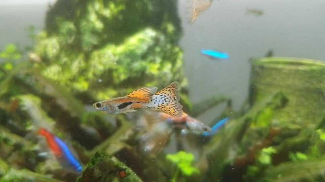Guppy Emerald Blue and Red Grass