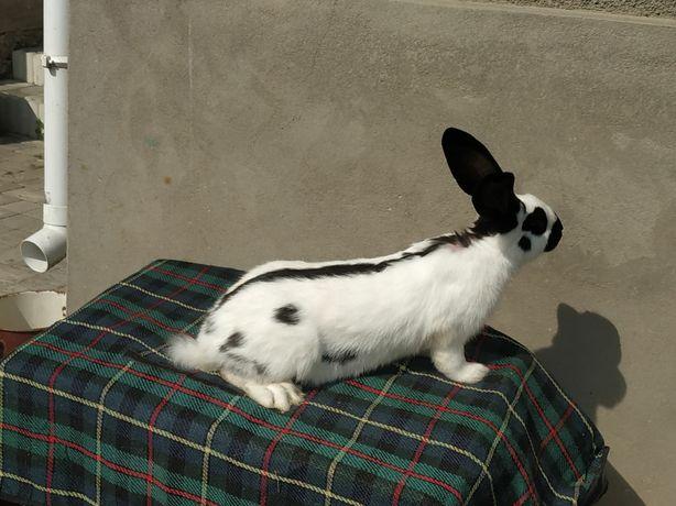 Кріль кролі кролиці породи Строкач