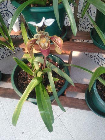 "Planta orquidea ""sapatinho"""