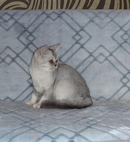Кошечка голубая шиншилла