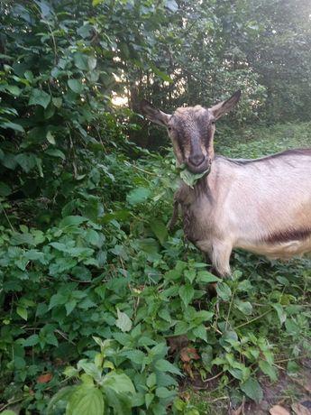 Срочно продам козу!
