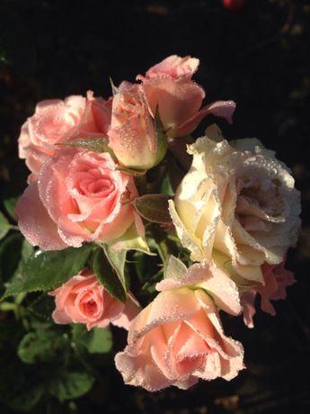 Розы плетистые бардюрные спреи саженцы копанные