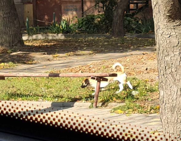 Замечен коричневый белый пес около 10кг