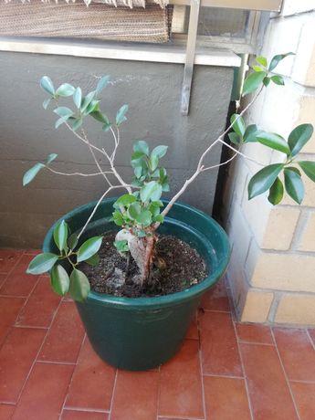 Planta ficus ginseng