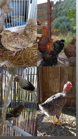 Aves Pedrês canários codorniz