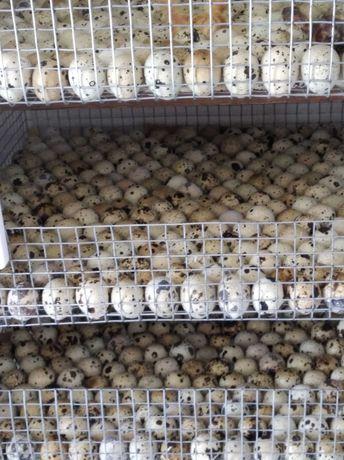 Перепелиное инкубационное яйцо  Феникс Золотистый  и Техасец Белый