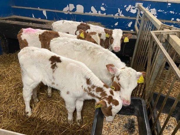 Sprzedam  byczki cielęta mięsne Duży Wybór