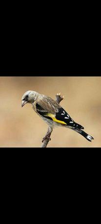 Carduelus e outras aves criador registado no icnf sand 585