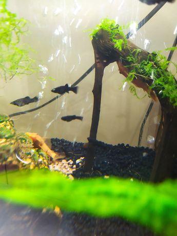 Rybki akwariowe molinezje narybek molinezja