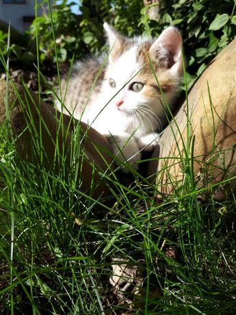 Триколірна кішечка