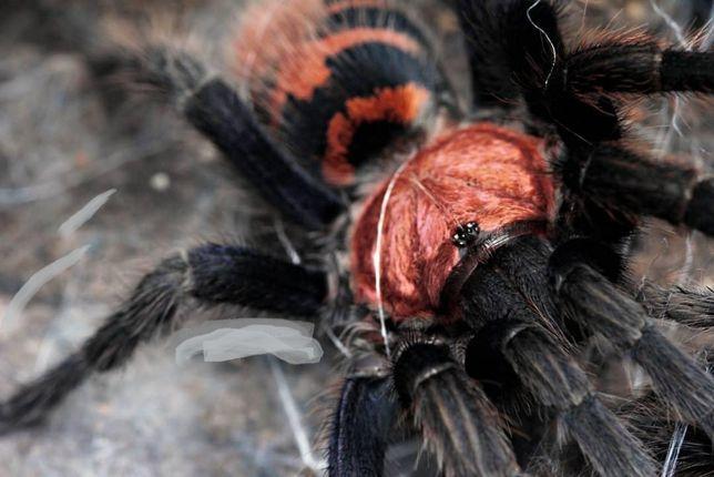 Cyclosternum fasciatum Самка паука птицееда для новичков есть доставка