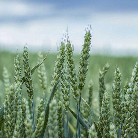 Насіння Озимої Пшениці Скаген