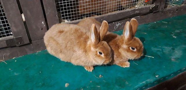 Samiczki NC Nowozelandzki Czerwony królik króliki