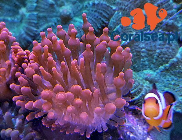 Entacmaea quadricolor M Ukwiał akwarium morskie