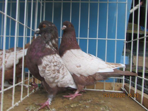 rysie czerwone łuskowane para, ryś czerwony, gołębie ozdobne
