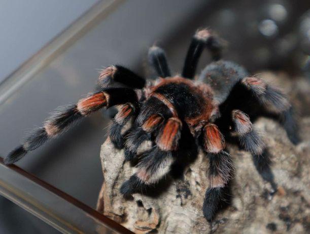brachypelma smithi Шикарный паук птицеед для новичков самец Одесса