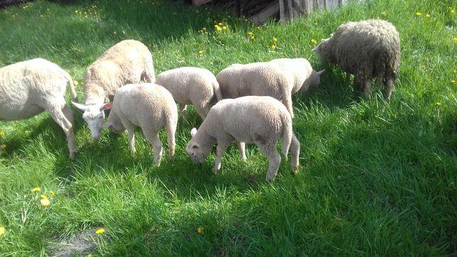 Spszedam dwie owce z jagnietami.