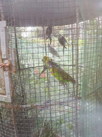 Piriquitos várias cores