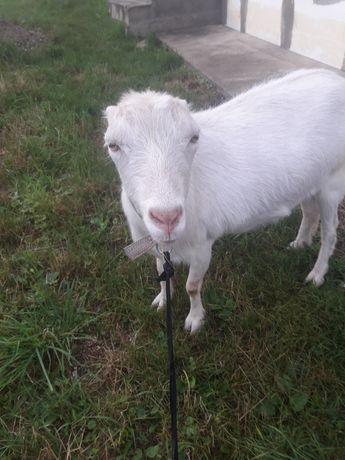 Продається коза Ламанча