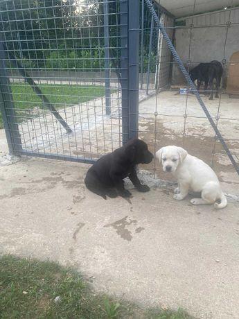 Cães e cadelas labradores