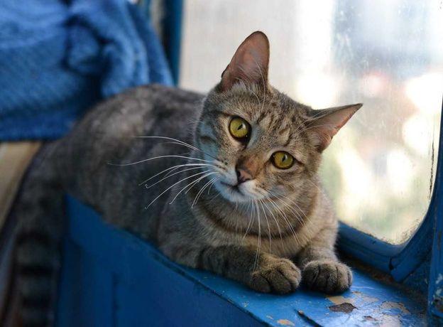 полосатий кіт-муркіт 1р