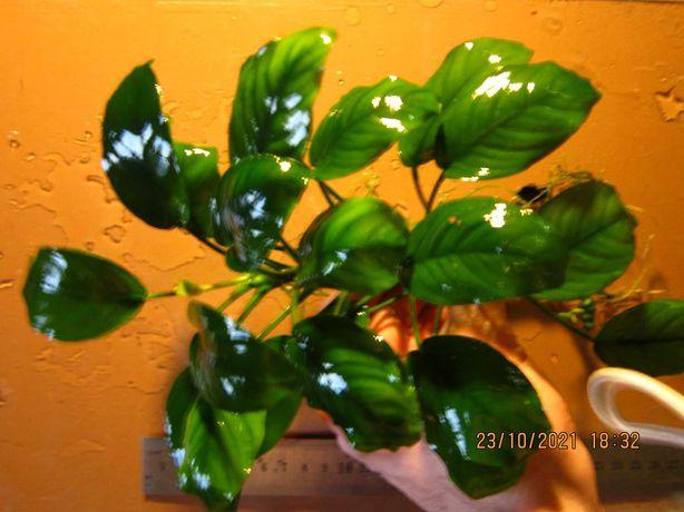 Растения Анубиас