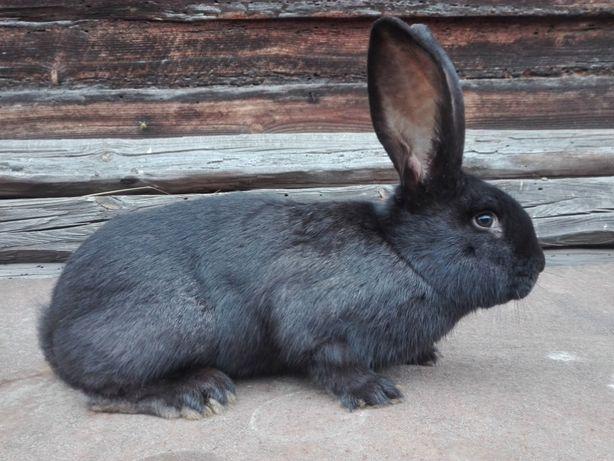 króliki samce samice