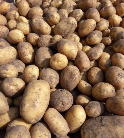 Sprzedam ziemniaki Vineta na  kilogramy