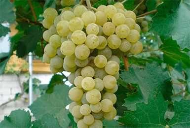 Продам виноград сорта белый магорач