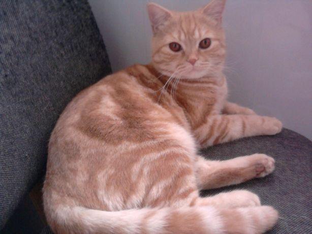 РЫЖИЙ,РЫЖИЙ,ПОЛОСАТЫЙ- прямоухий и усатый! Супер кот для вашей кошки!!