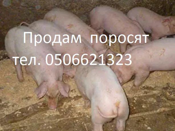 Поросята Поросенок Свиньи